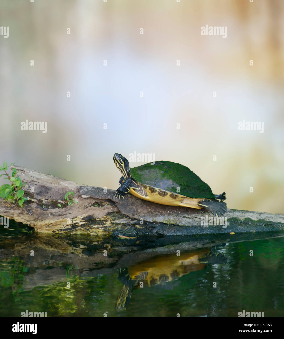 Florida Cooter Turtle On A Log - Stock Image