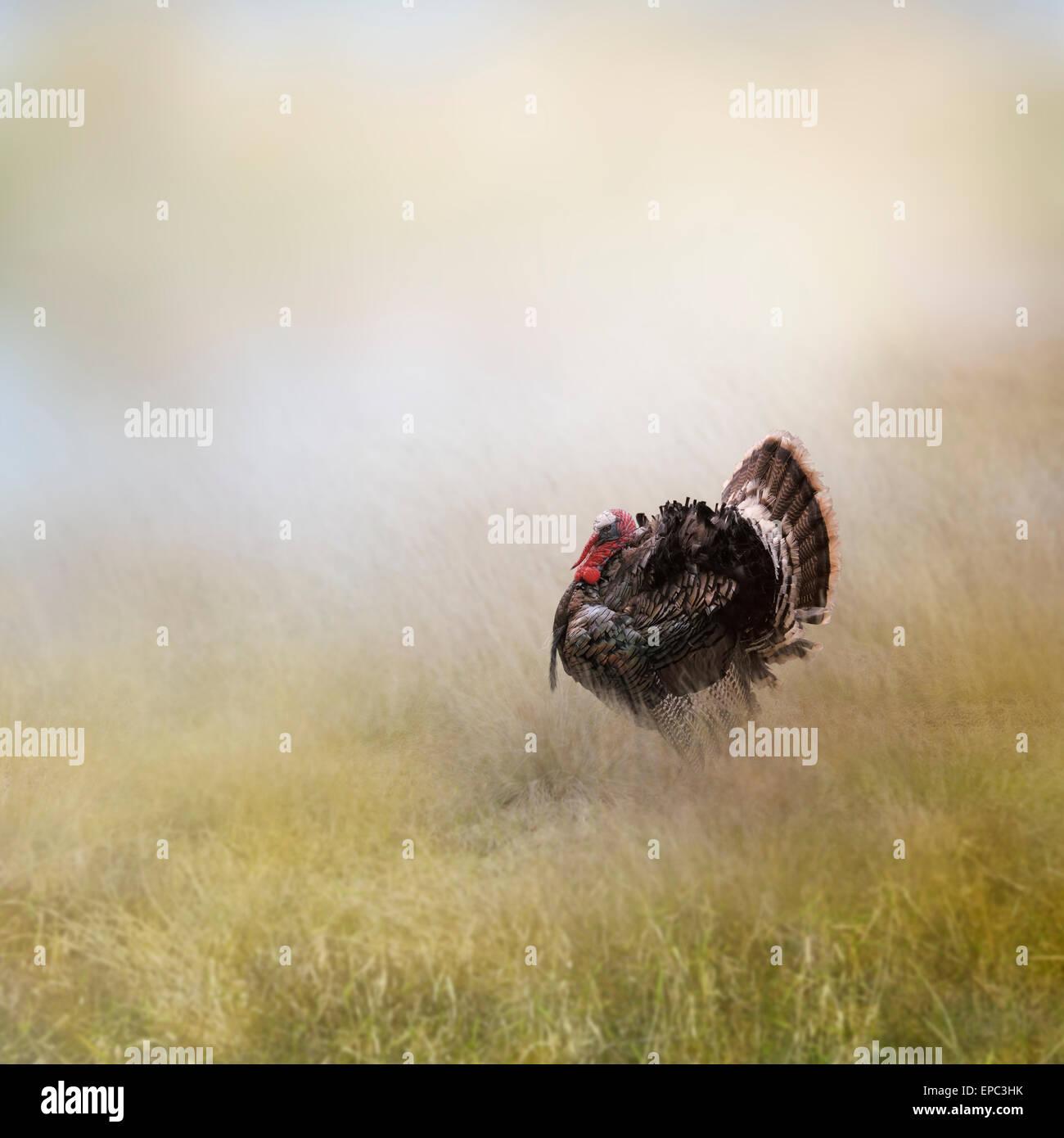 Turkey Male In A Field - Stock Image