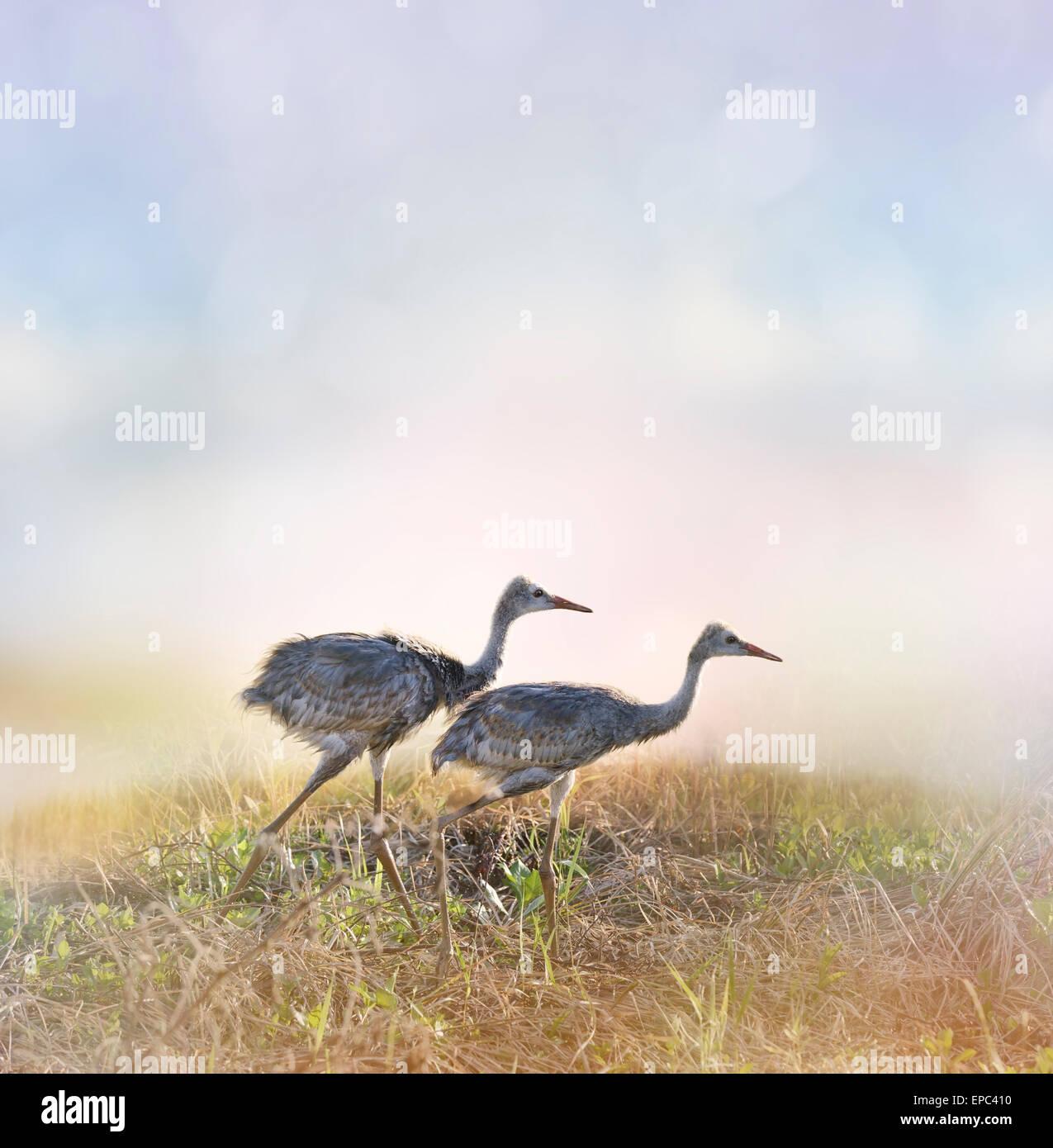 Sandhill Crane Chicks Walking At Sunrise - Stock Image