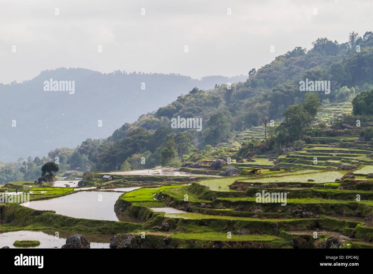 Terraced rice fields, Batutumonga, Toraja Land, South Sulawesi, Indonesia - Stock Image