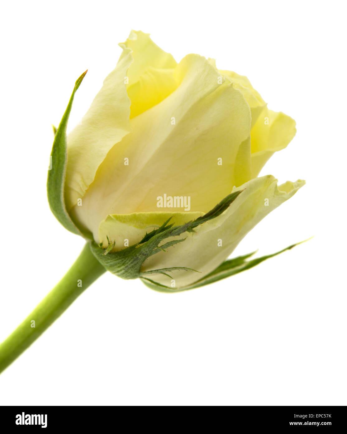 yellow-green rose flowers macro on white background Stock Photo