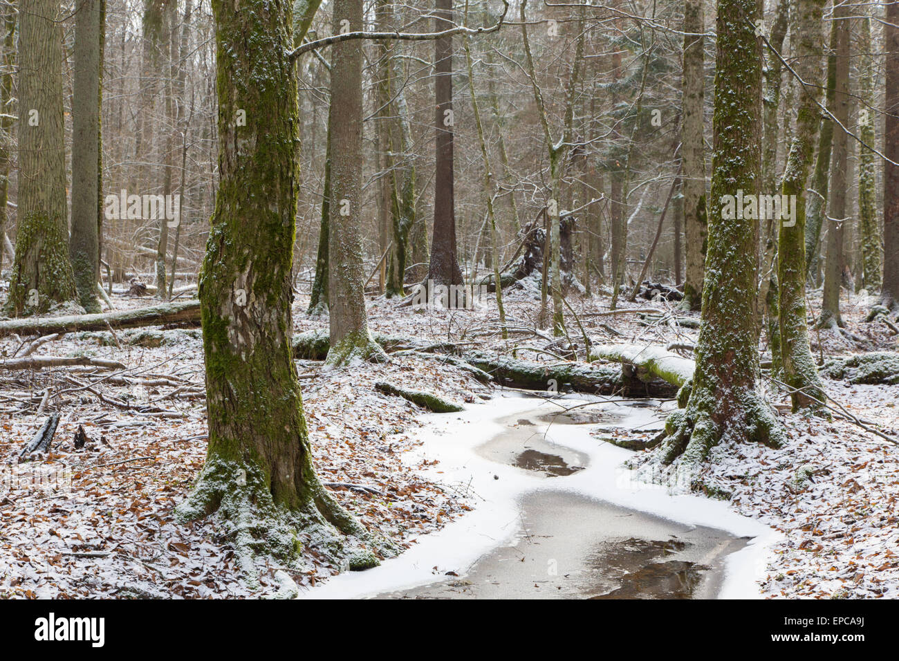 Wintertime old natural stand of Bialowieza Forest by partly frozen stream,Bialowieza Forest,Poland,Europe - Stock Image