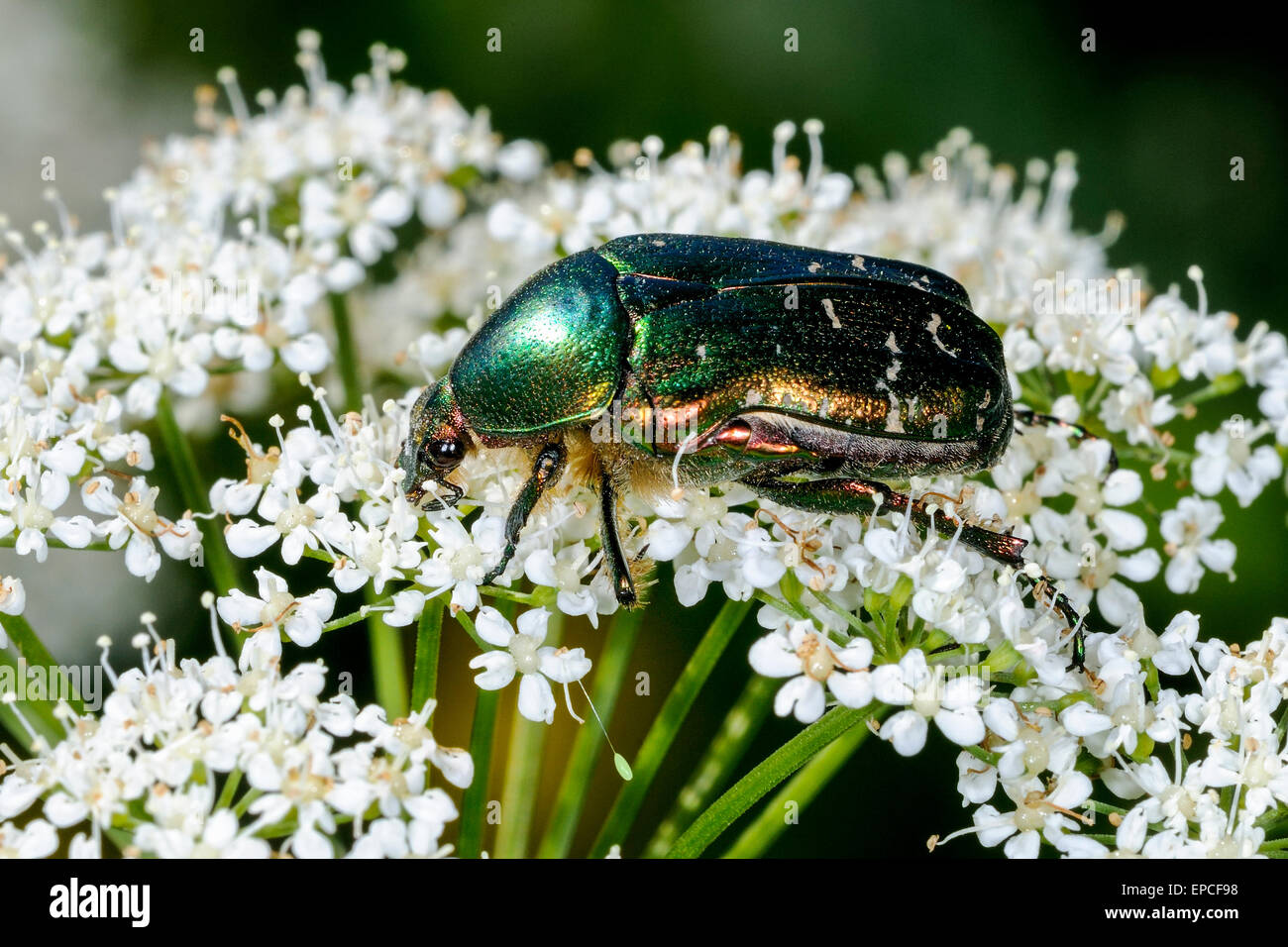 rose chafer, cetonia aurata - Stock Image