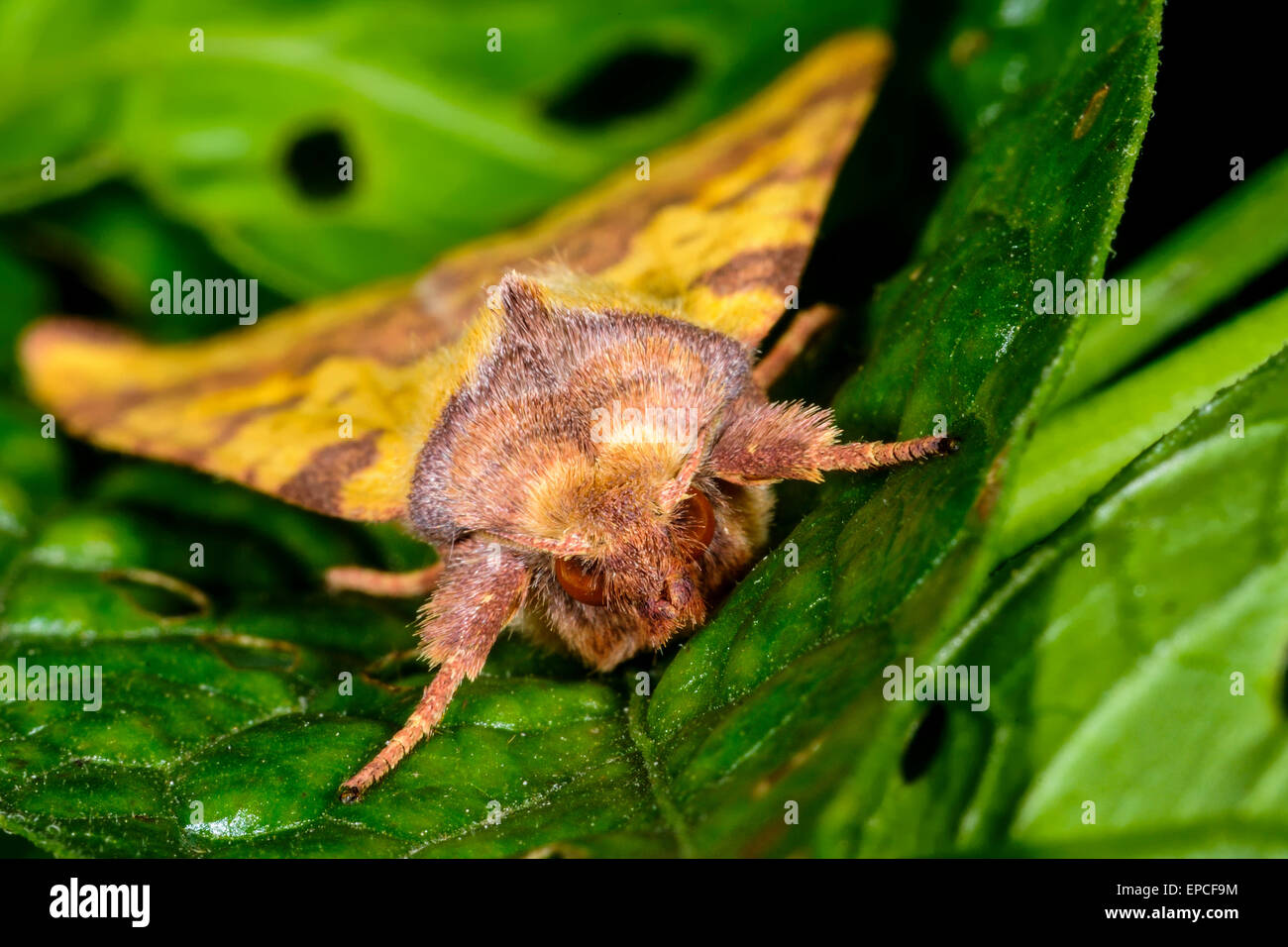 pink-barred sallow, xanthia togata - Stock Image