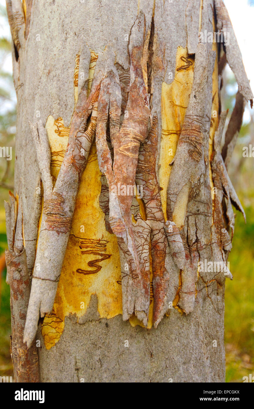 Scribbly Gum (Eucalyptus racemosa), Barrington Tops National Park, New South Wales, NSW, Australia - Stock Image