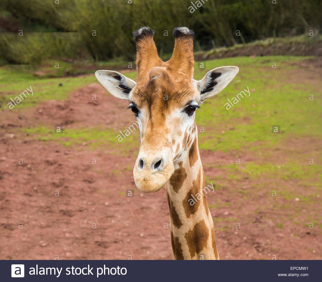 Curious young giraffe Stock Photo