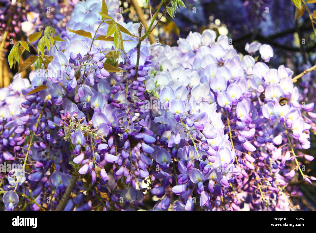 Violet wisteria flowers and buds Stock Photo