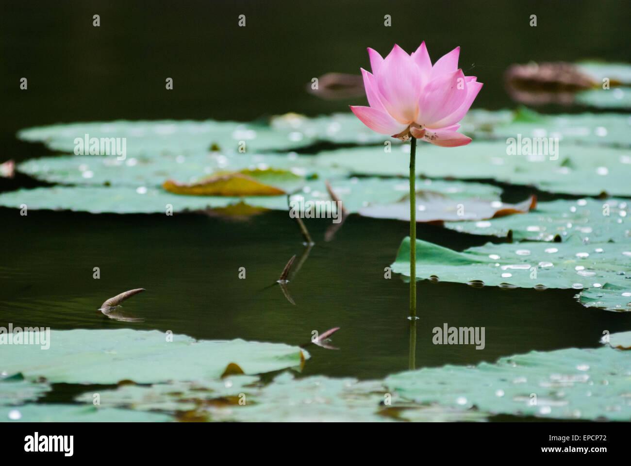 east indian lotus nelumbo nucifera stock photos & east indian lotus