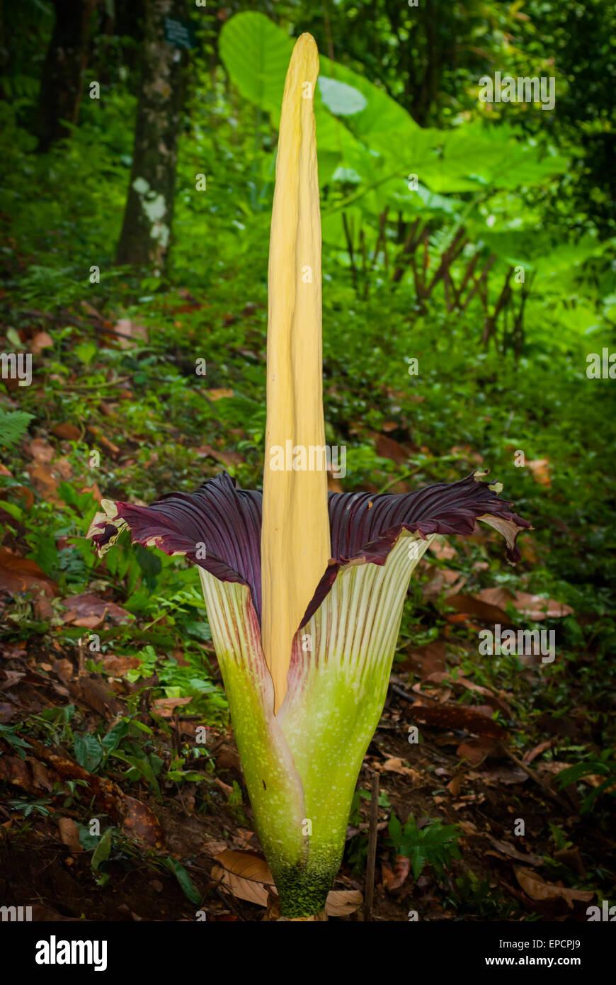 Titan arum (Amorphophallus titanum), the Amorphophallus with the largest inflorescence. © Reynold Sumayku - Stock Image