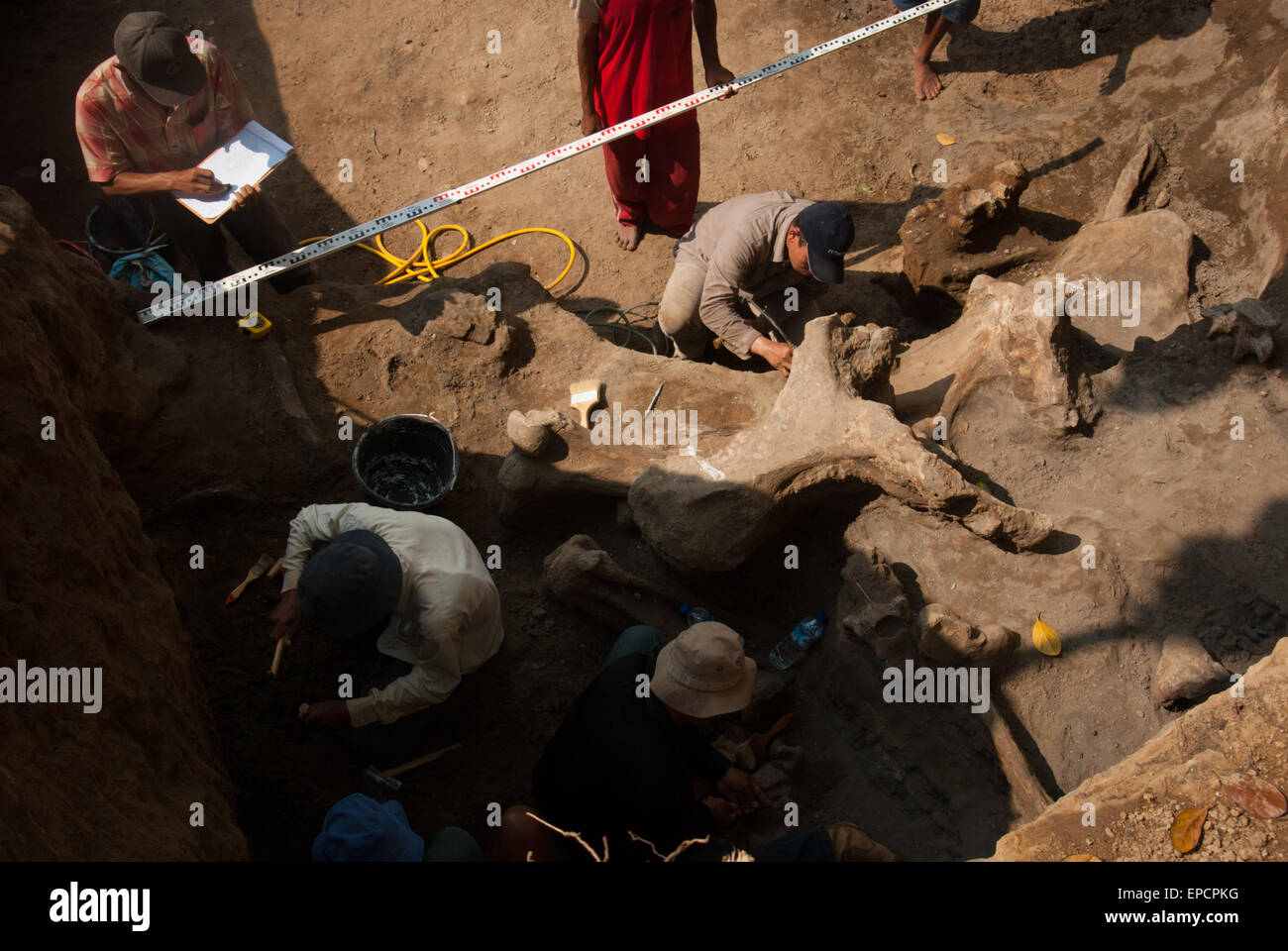 Scientists from Indonesian Vertebrate Geological Paleontology team excavate ancient elephant fossils (Elephas hysudrindicus). - Stock Image