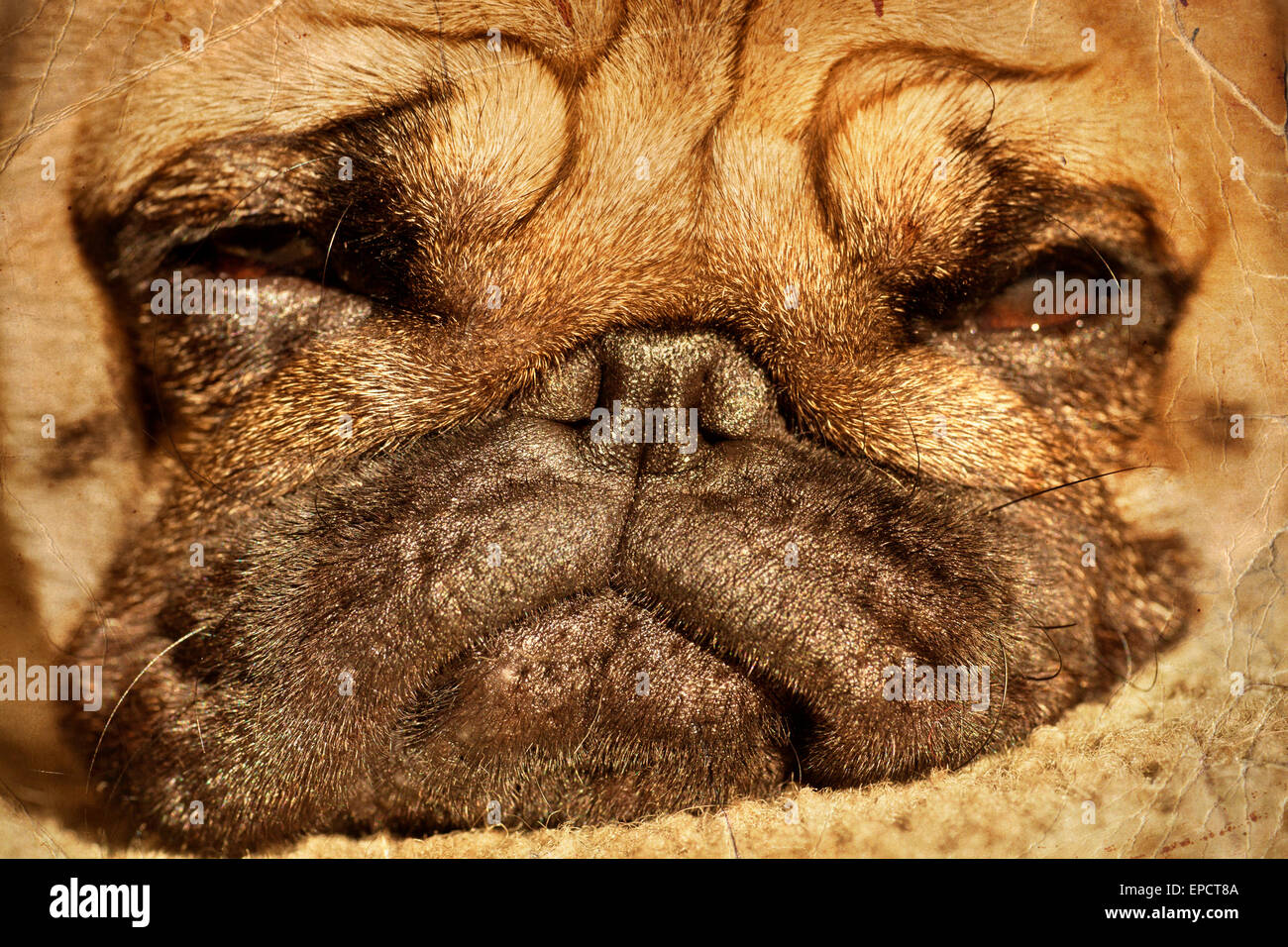 Close up of pug puppy sleeping in sunshine - Stock Image