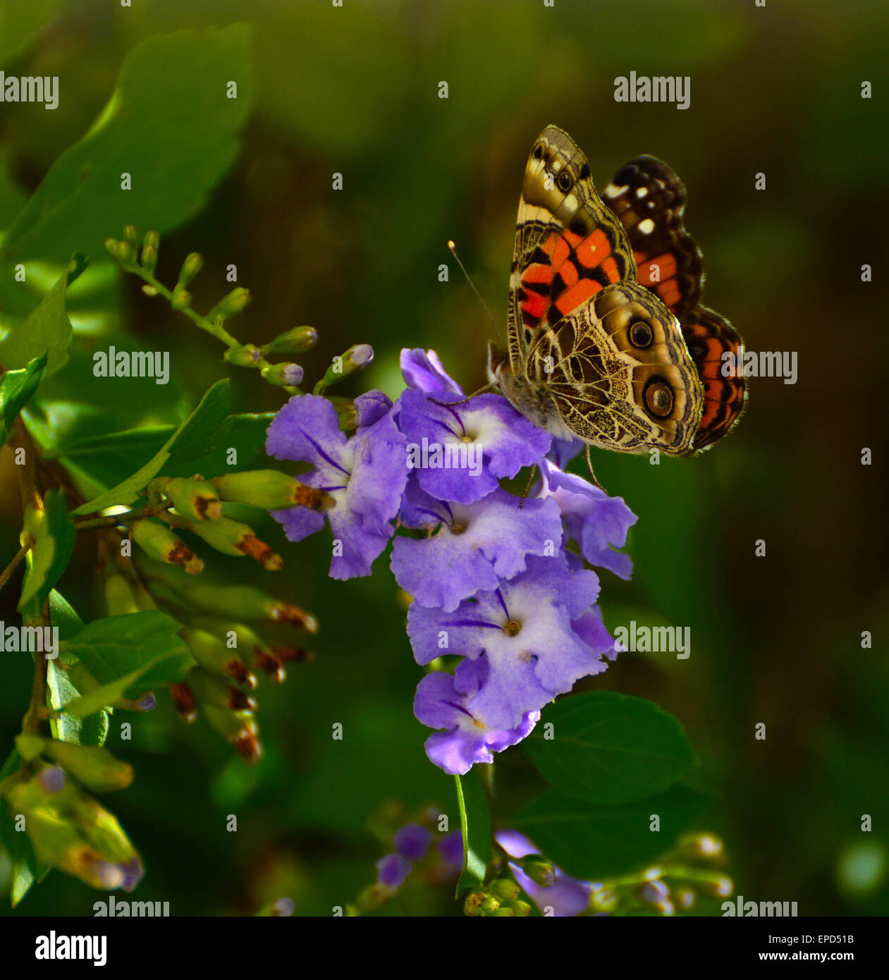 An American Painted Lady butterfly feeding on nectar. Taken in Brooksville, Florida, USA - Stock Image