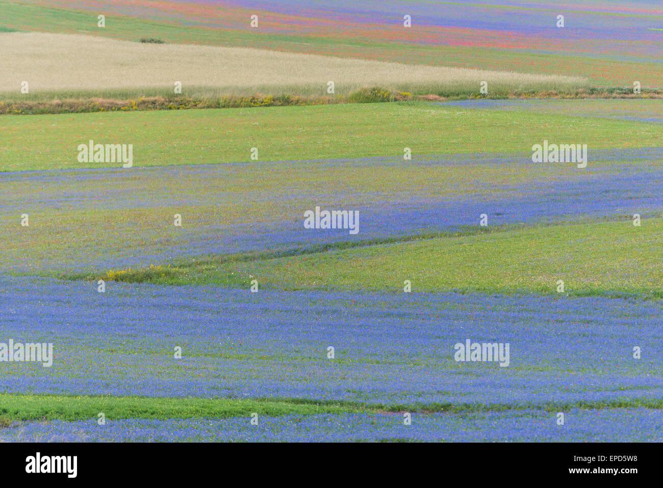 Colored fields in Piano Grande, Monti Sibillini NP, Umbria, Italy - Stock Image