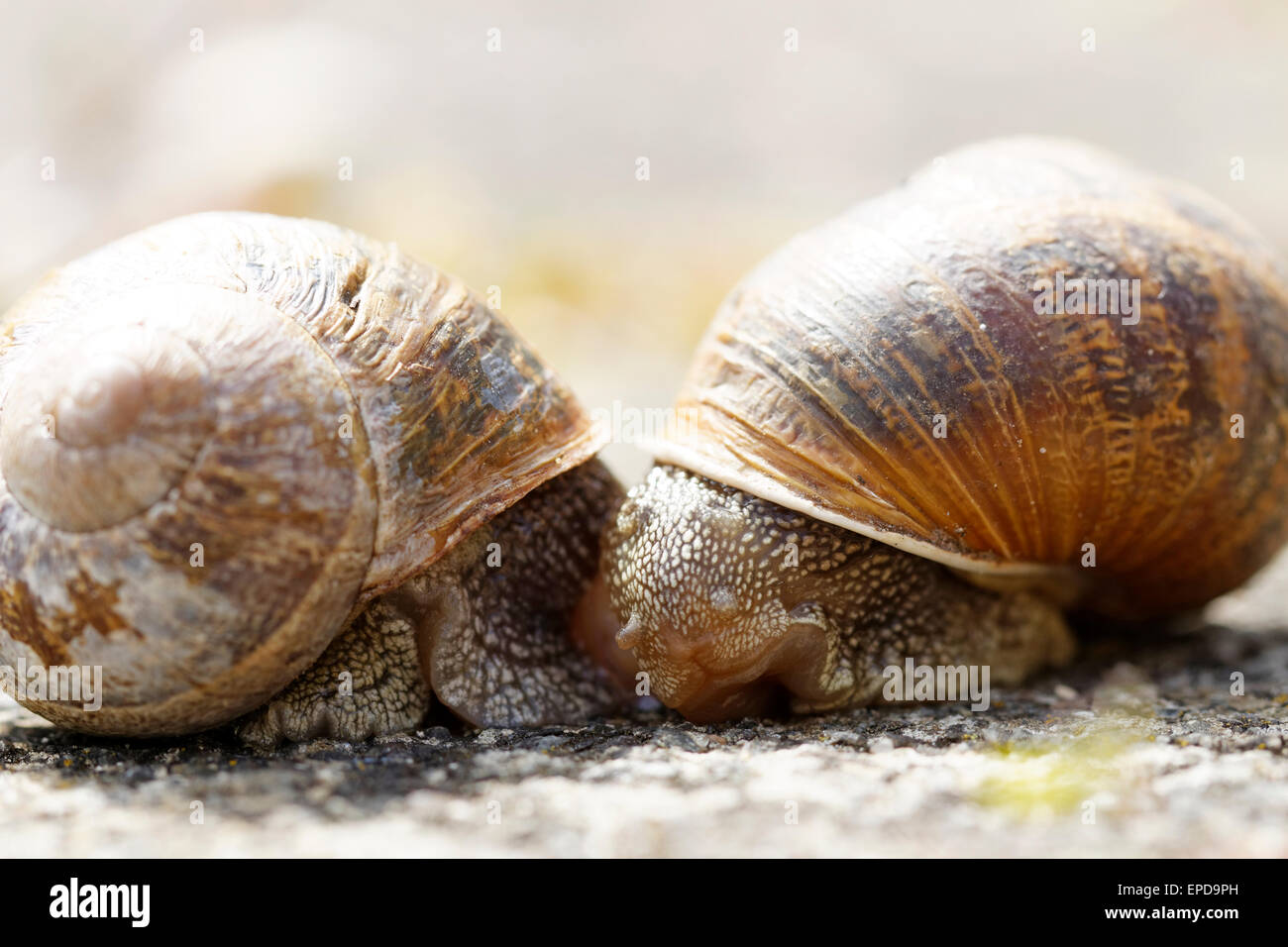 A pair of garden snails mating - Stock Image