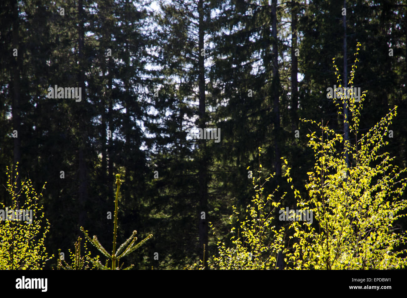 Shiny fresh birch leaves at a background of a spruce forest - Stock Image