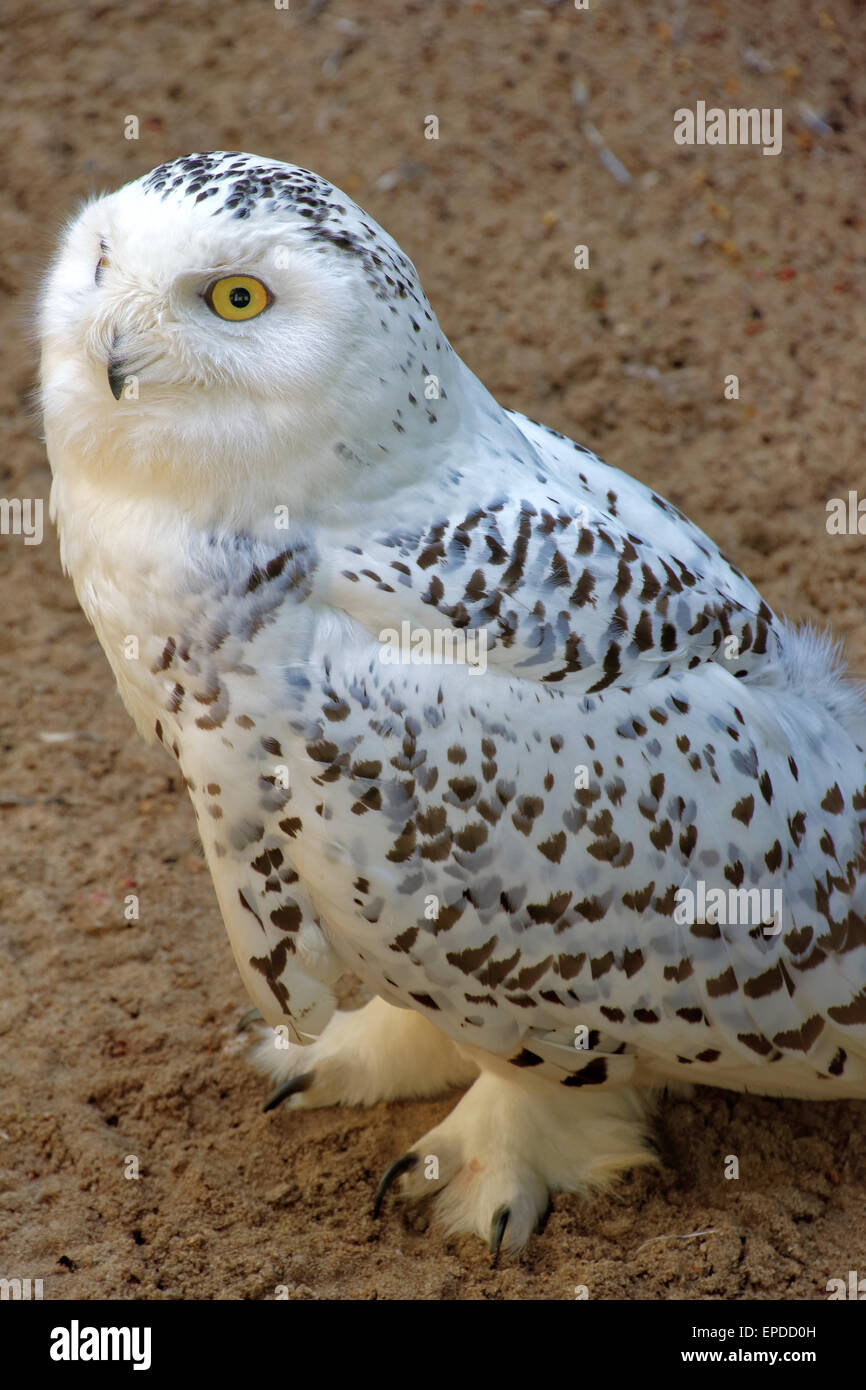 Snowy Owl (Bubo scandiacus) is a large owl of the typical owl family Strigidae. It was first classified in 1758 - Stock Image