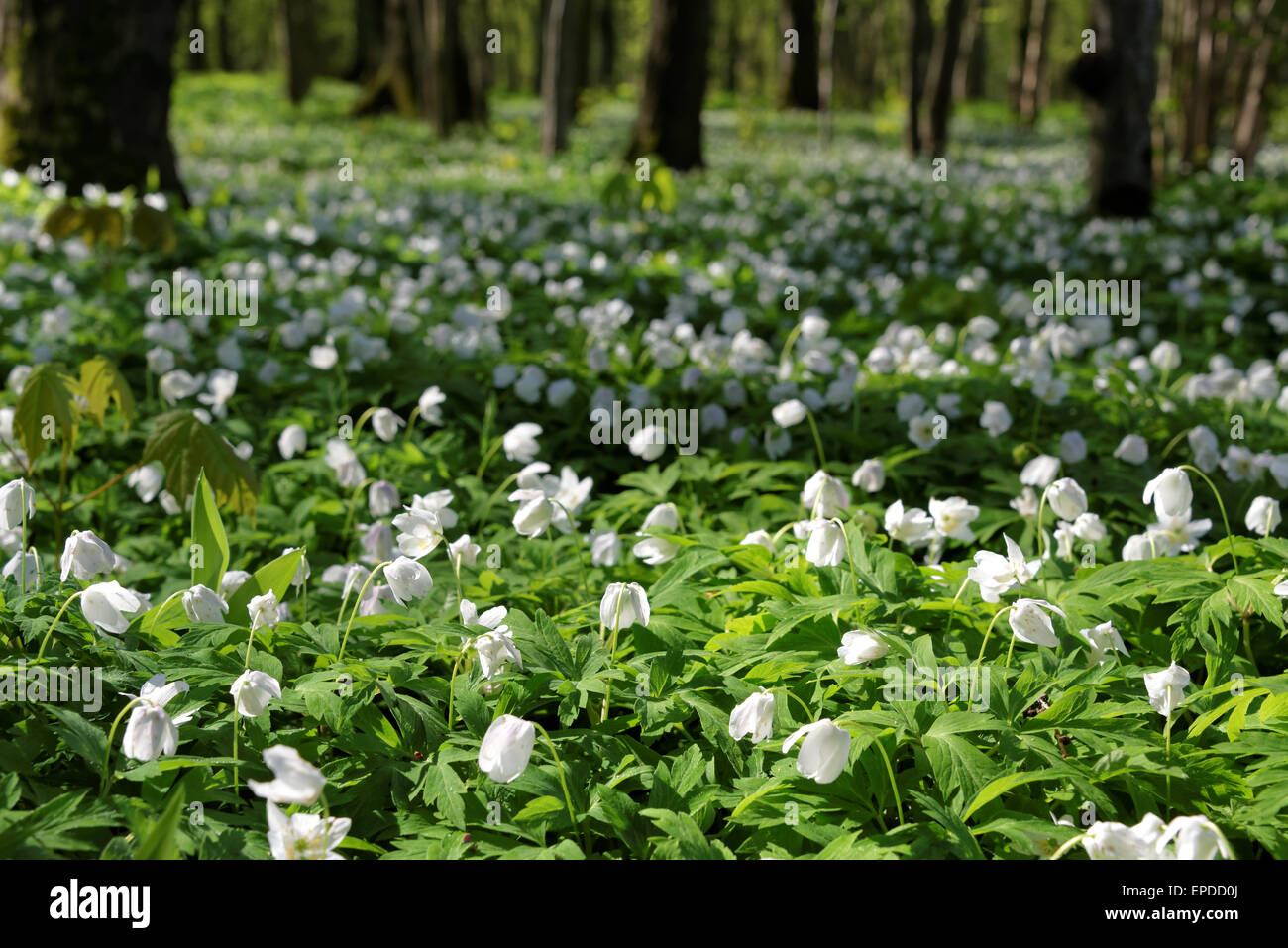 Anemone Nemorosa Is An Early Spring Flowering Plant In The Genus