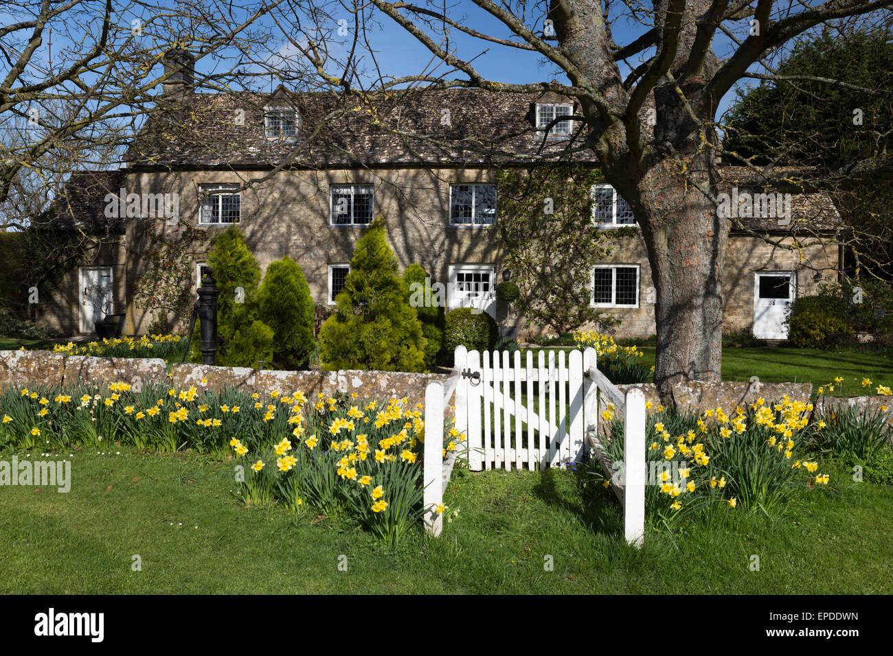 Daffodil fronted cotswold stone cottage, Bledington, Cotswolds, Gloucestershire, England, United Kingdom, Europe - Stock Image