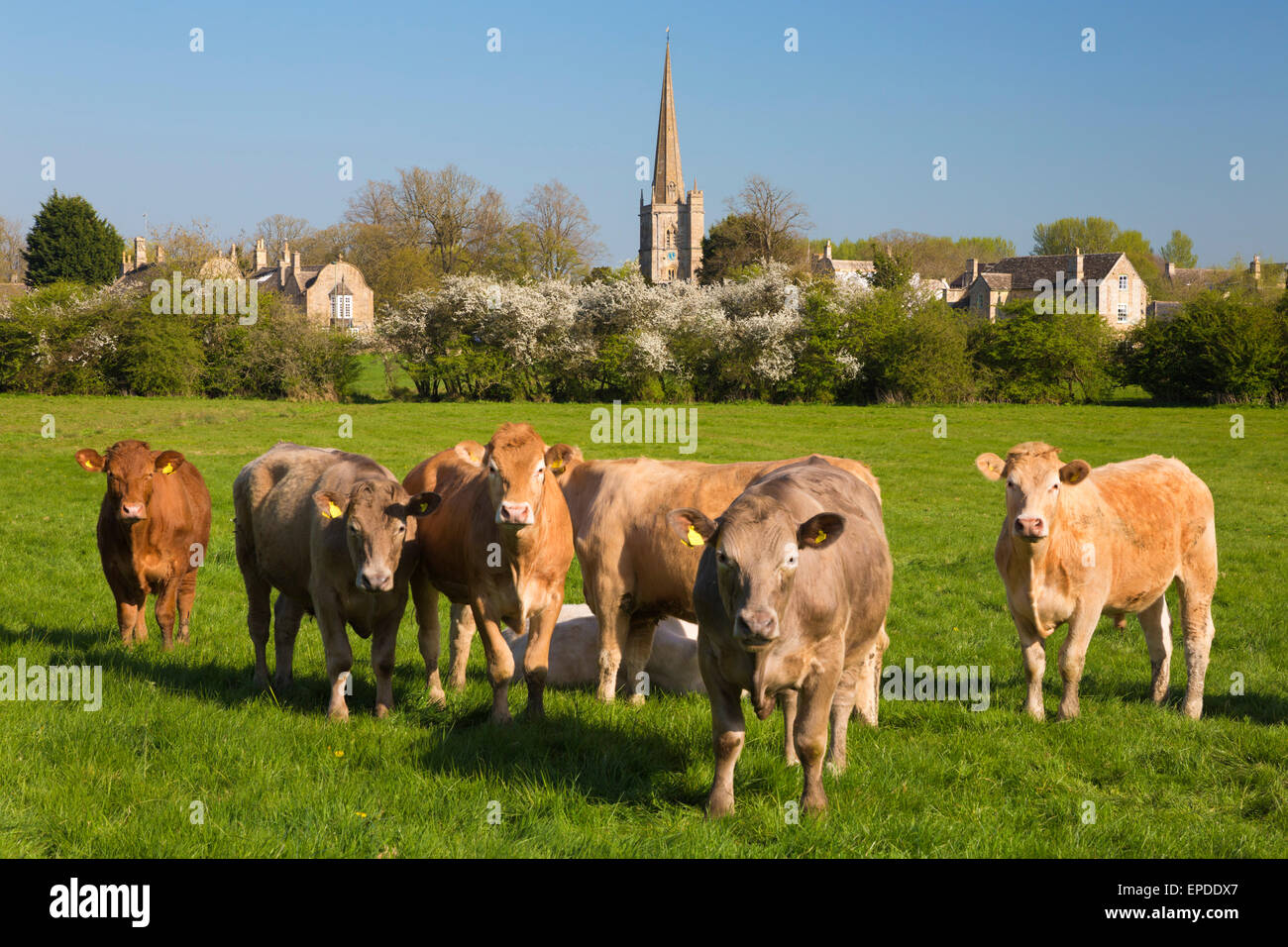 Cows in meadow by Cotswold village, Burford, Cotswolds, Oxfordshire, England, United Kingdom, Europe - Stock Image