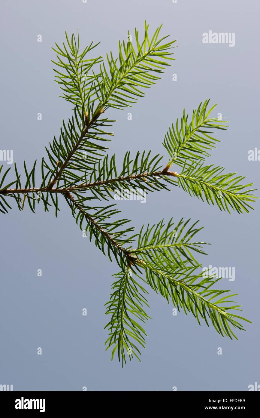 Common Spruce, Christmas Tree, Gewöhnliche Fichte, Rot-Fichte, Rotfichte, Picea abies, Nadeln, Blätter, - Stock Image