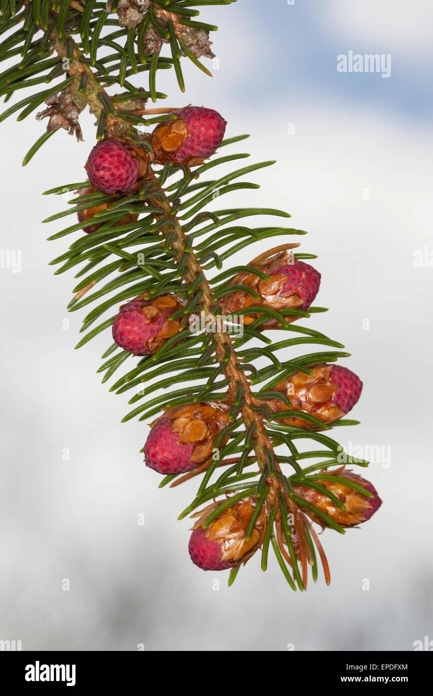 Common Spruce, Christmas Tree, female florescence, Gewöhnliche Fichte, Rot-Fichte, weibliche Blüte, Rotfichte, - Stock Image