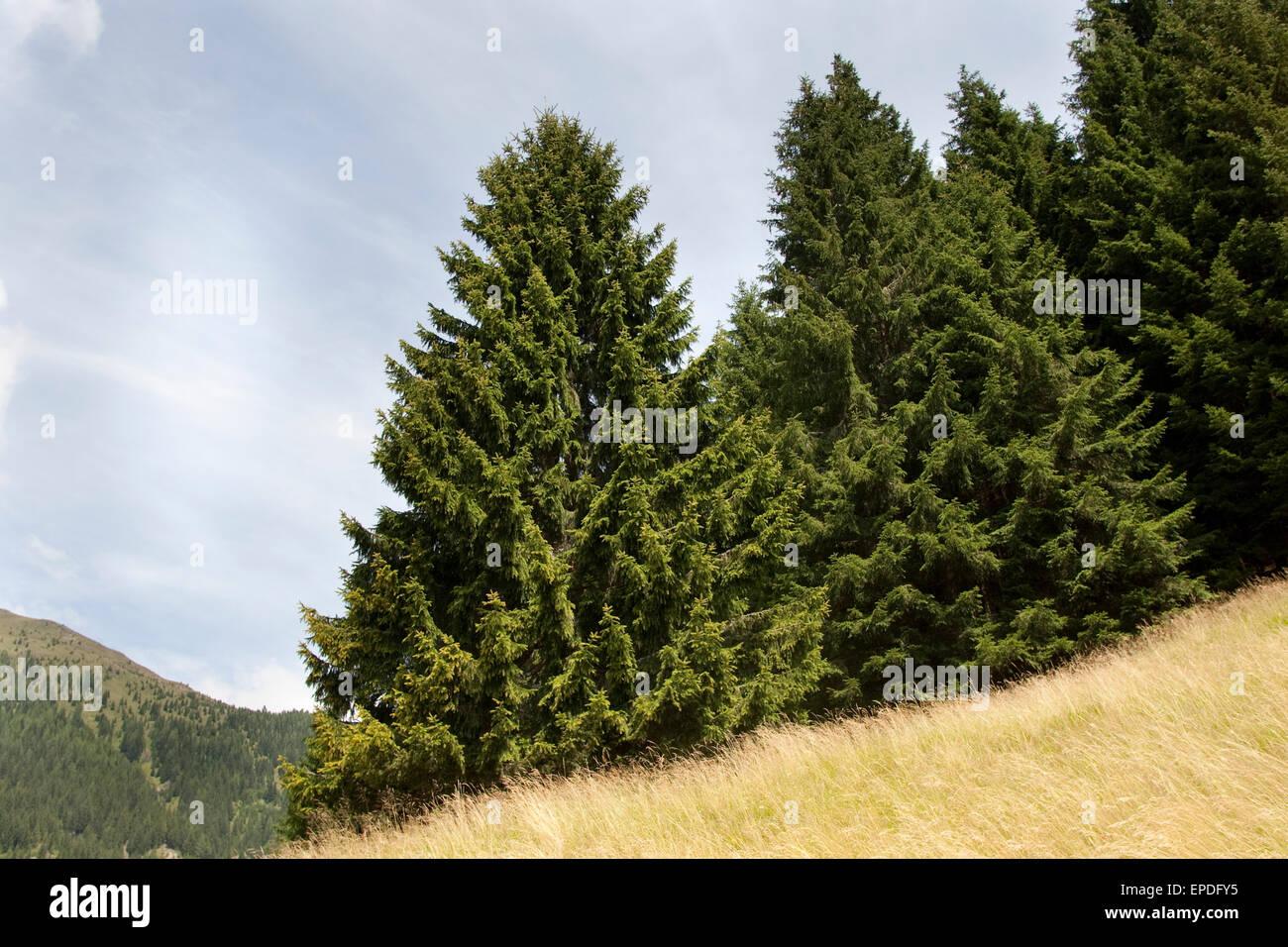 Common Spruce, Christmas Tree, Gewöhnliche Fichte, Rot-Fichte, Rotfichte, Picea abies - Stock Image
