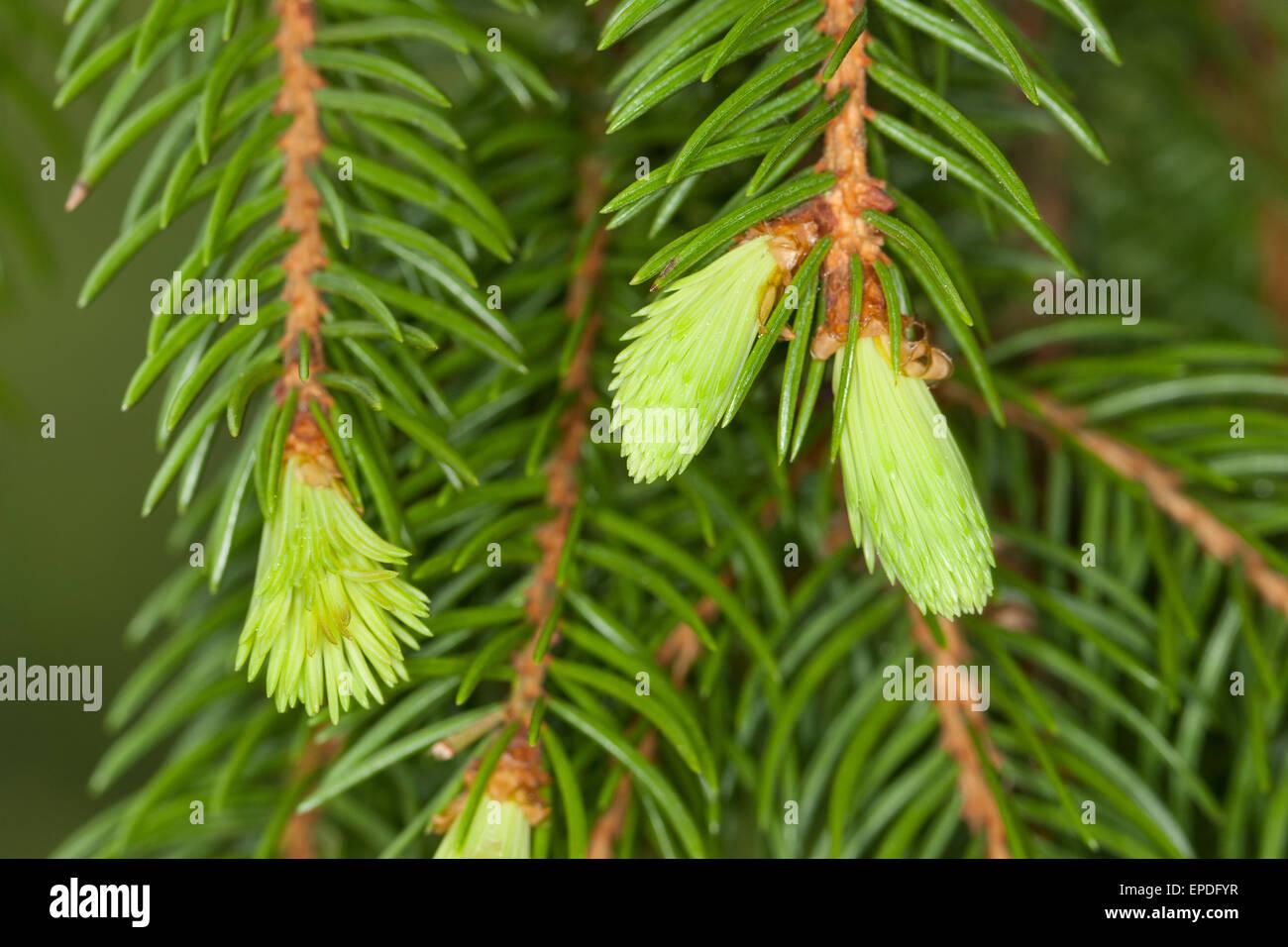 Common Spruce, Christmas Tree, shoot, sprout, sapling, Gewöhnliche Fichte, frische Triebe, Nadeln, Rotfichte, - Stock Image