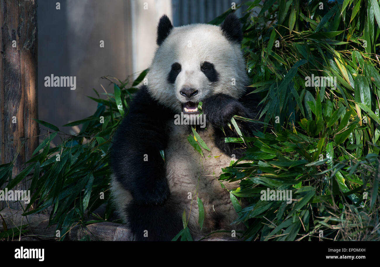 Giant panda eating bamboo at Chengdu Panda Breeding Research Center, Sichuan, China - Stock Image