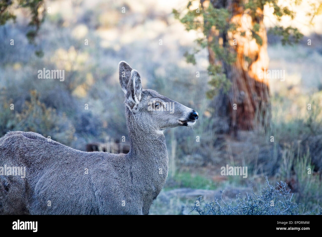 Mule deer female doe searching for browse in early spring in a juniper forest in central Oregon. - Stock Image