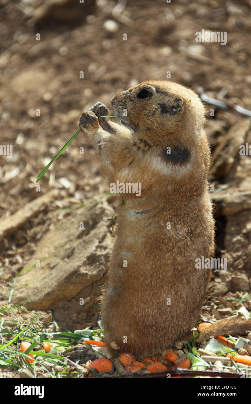 black tailed prarie dog Stock Photo