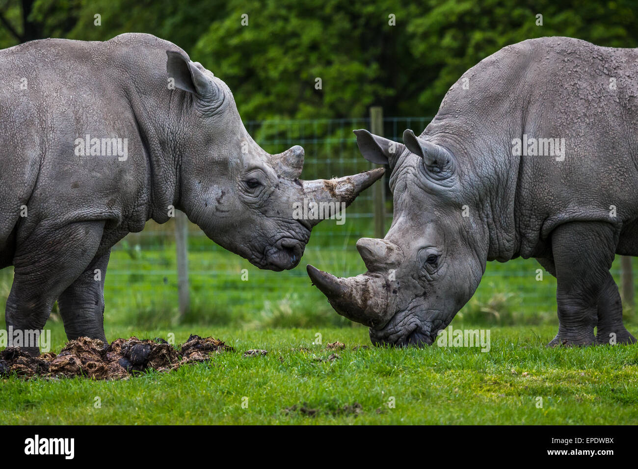 Two white rhino's together near Liverpool. - Stock Image