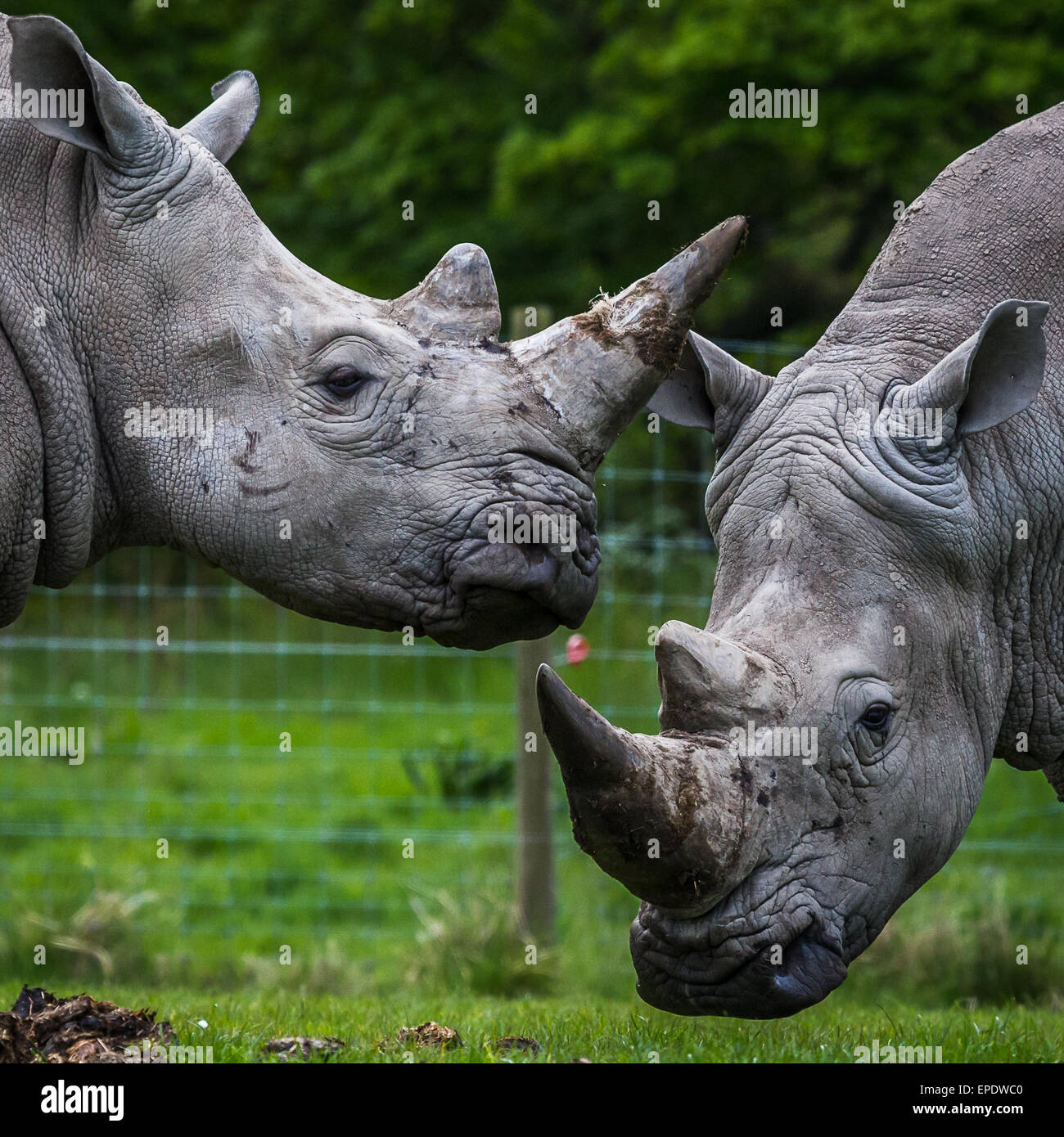 White rhino's preparing to lock horns together. - Stock Image
