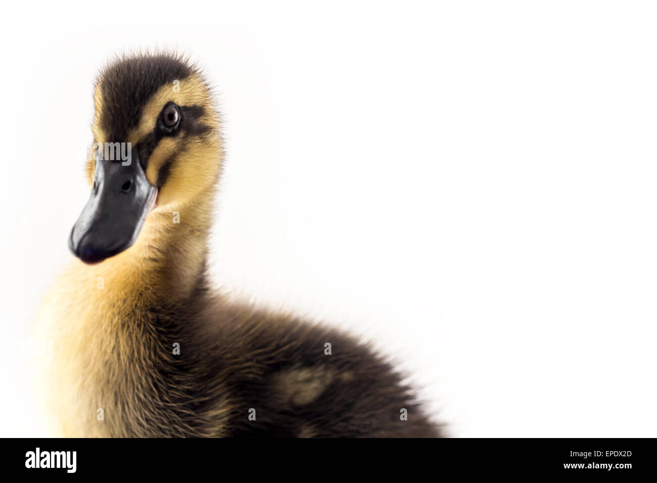 American pekin duckling and  in studio shot photo. This yellow duckling is domesticated for egg production - Stock Image