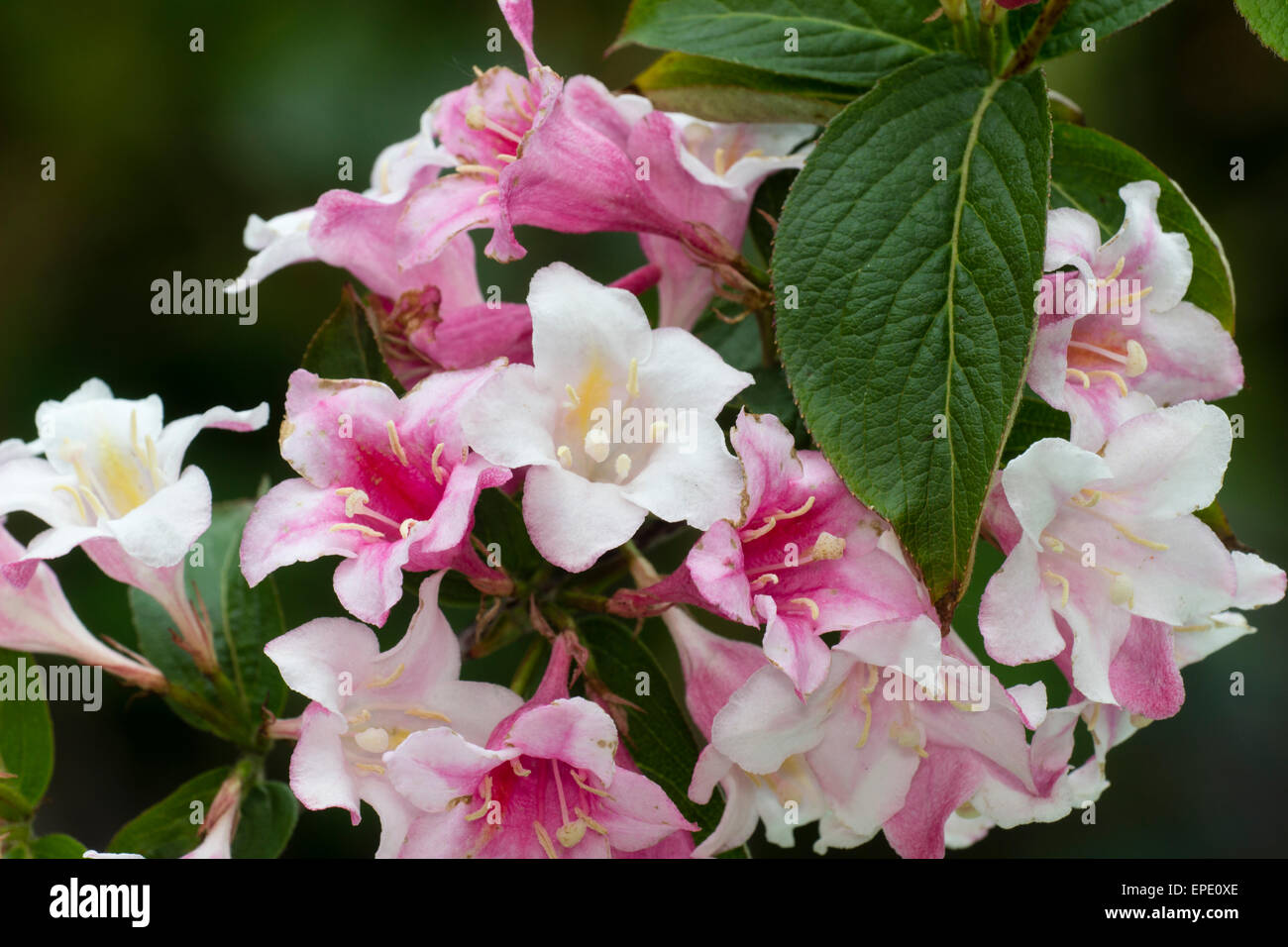 Plain leaves and white flowers that fade to red in the hardy shrub plain leaves and white flowers that fade to red in the hardy shrub weigela florida mightylinksfo Images