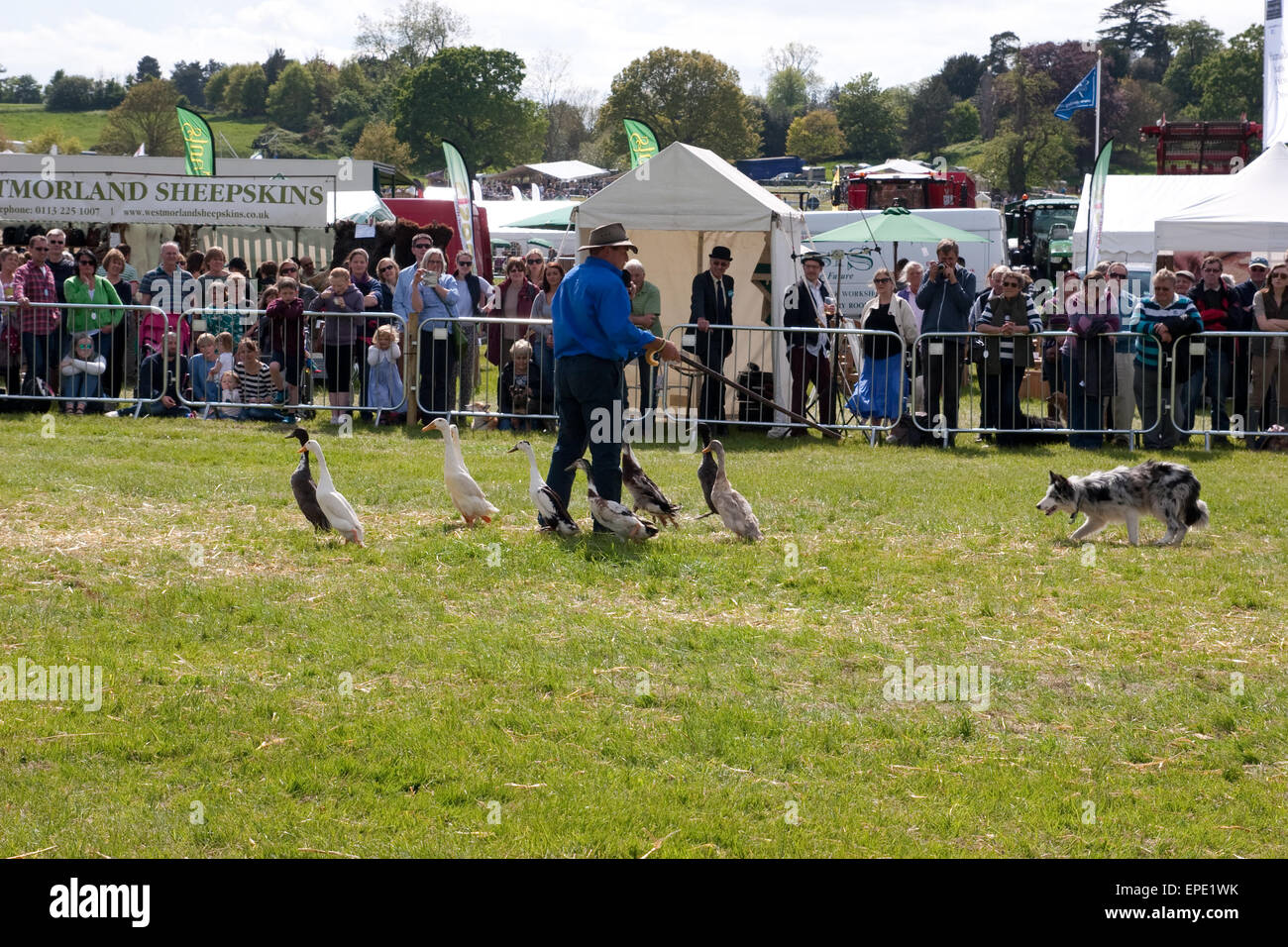 A working dog with a group of indian runner ducks - Stock Image