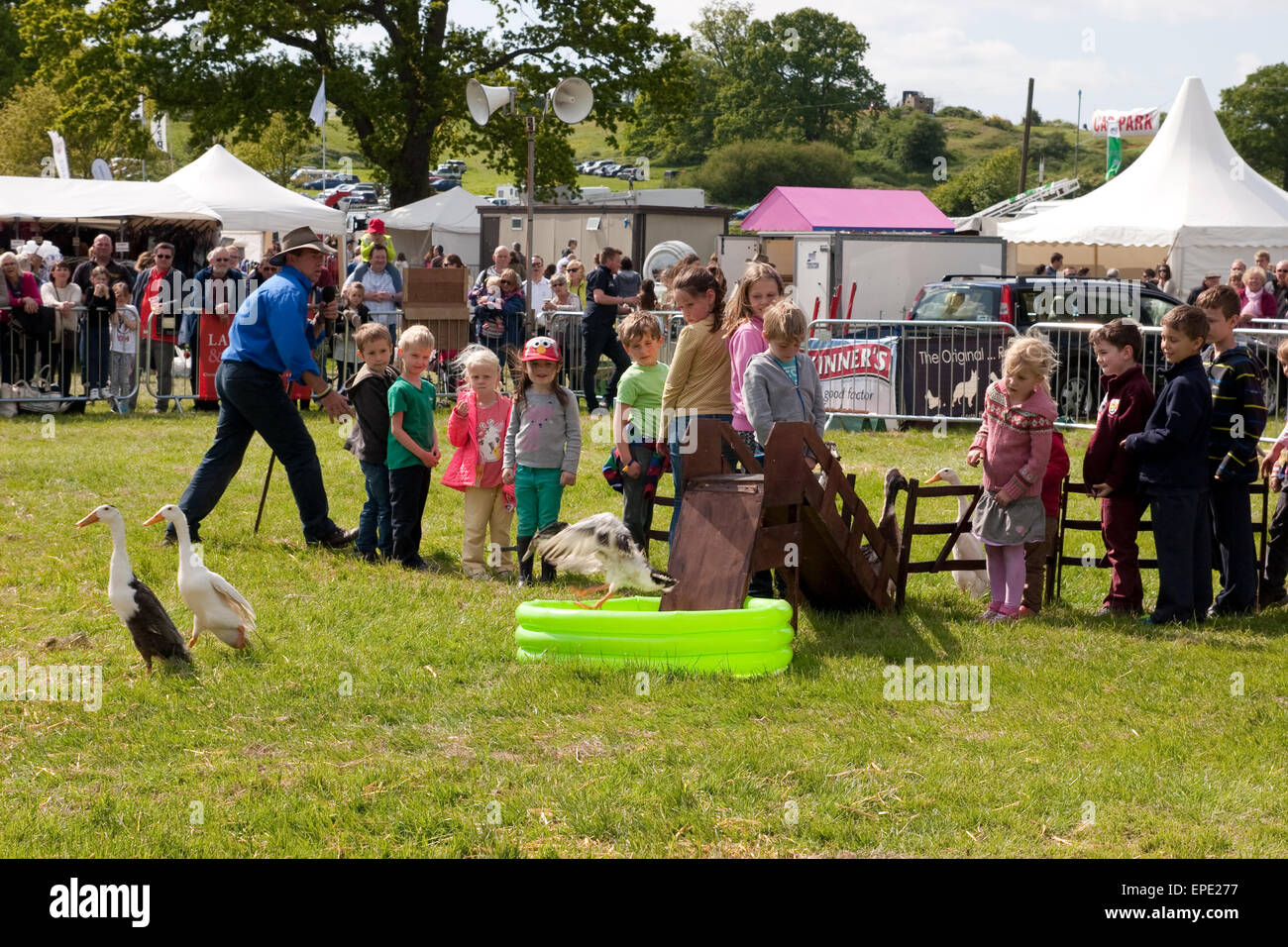 Children watch at a display of Indian Runner ducks at a UK country show - Stock Image