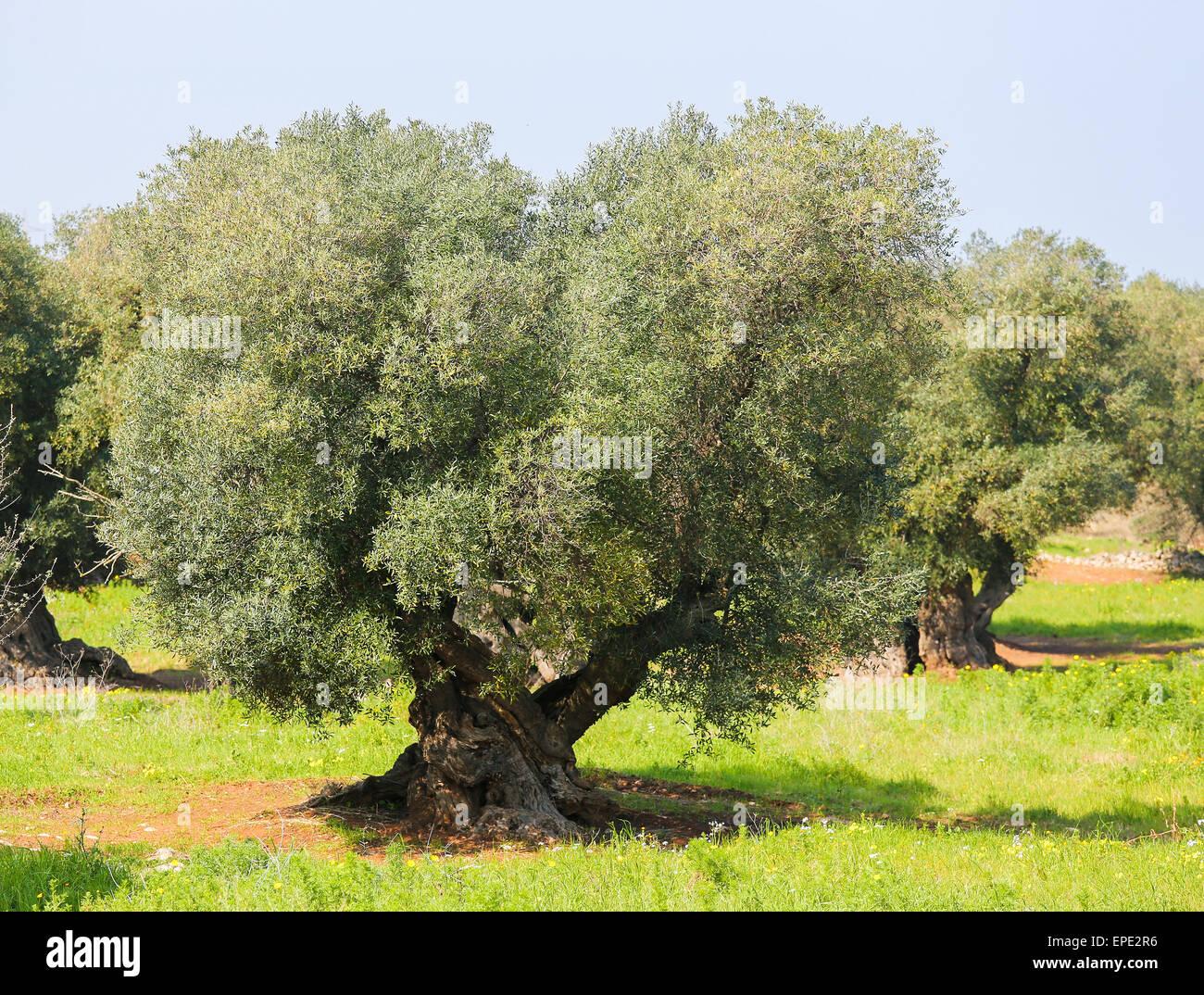 Olive Garden Stock Photos & Olive Garden Stock Images - Alamy