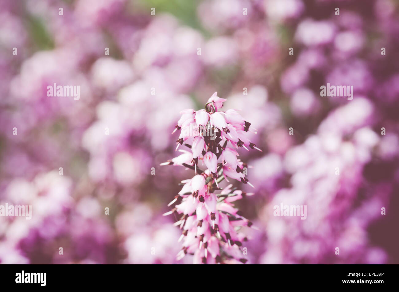 pink heather shrub inflorescence on a pink green background - early spring flowers - Stock Image