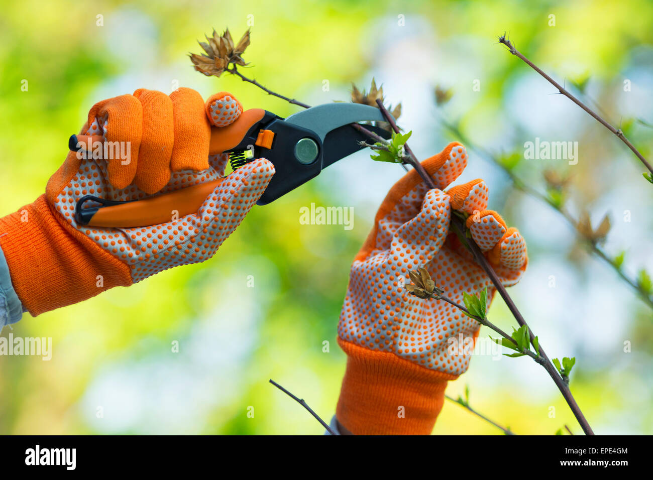 Gardening, Pruning Hibiscus Plant, Gloves and Shears - Stock Image