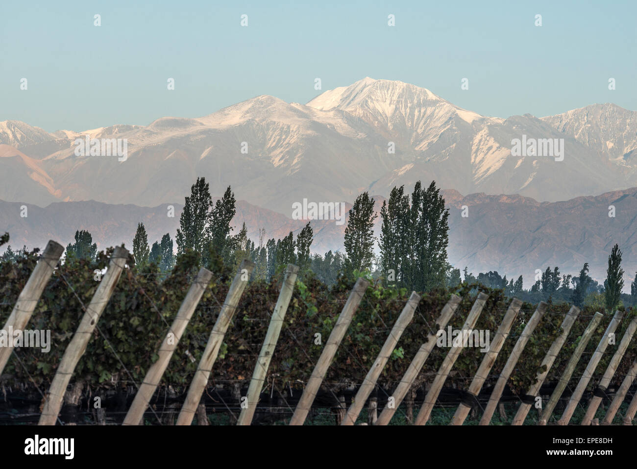 Early morning in the vineyards in Maipu, Argentine province of Mendoza - Stock Image