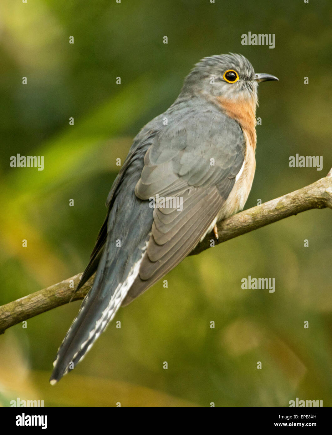 Australian fan tailed cuckoo, Cacomantis flabelliformis, in the wild perched on small branch and against light green - Stock Image
