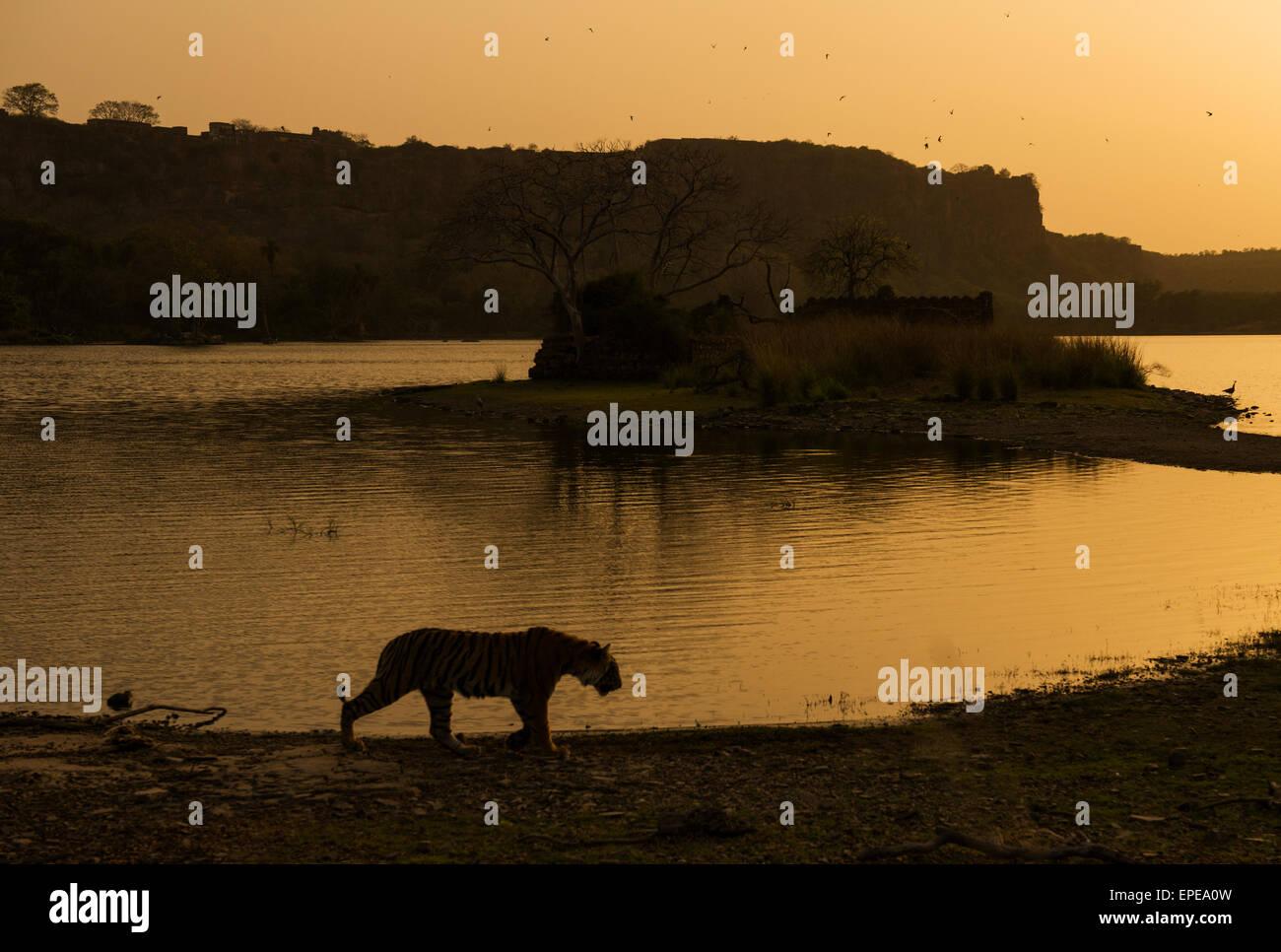 Wild Indian tiger walking along a lake at sunset in Ranthambore national park - Stock Image