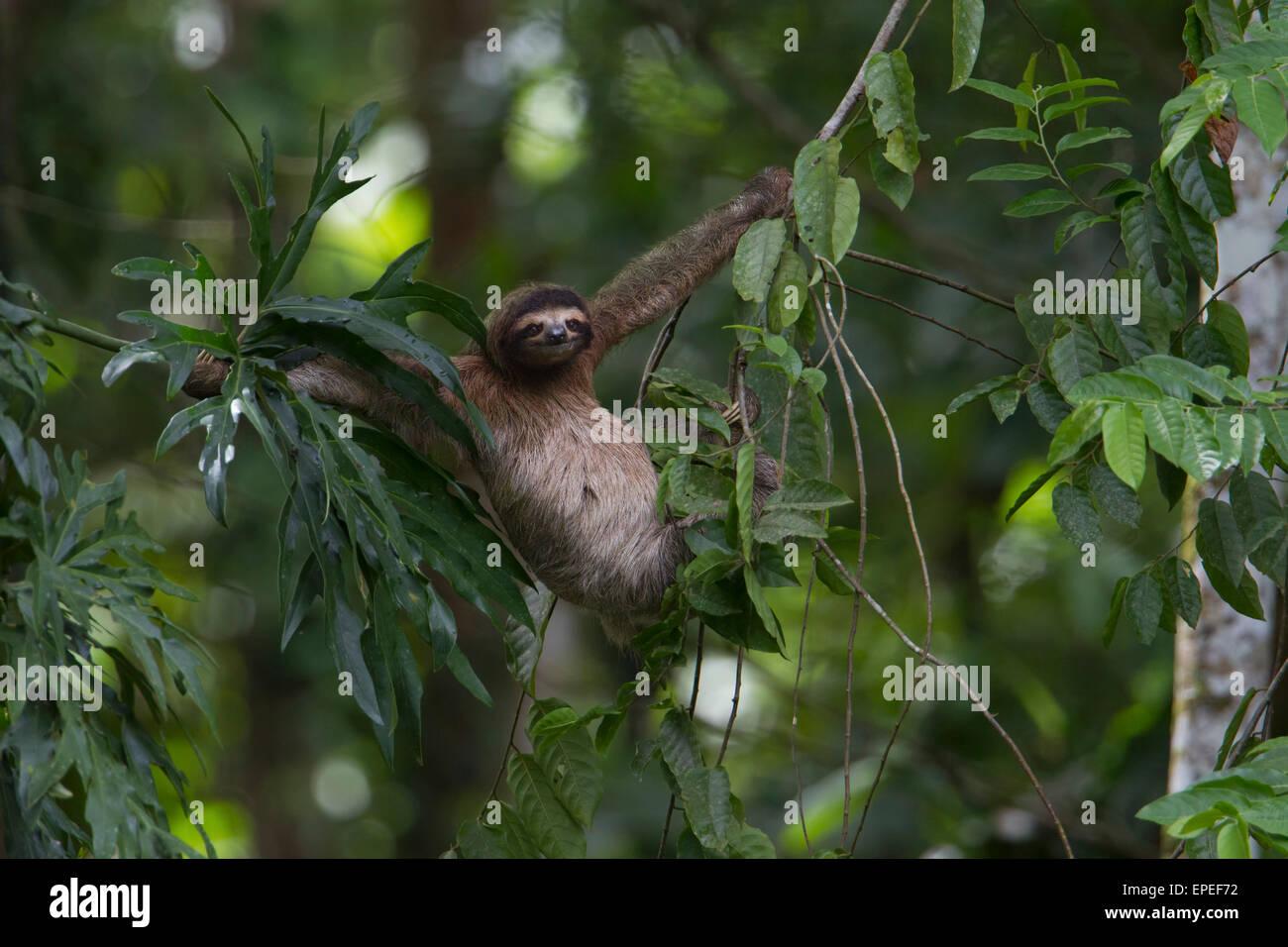 Brown-throated sloth (Bradypus variegatus) hanging between lianas in the tropical rainforest, Puerto Viejo de Talamanca - Stock Image
