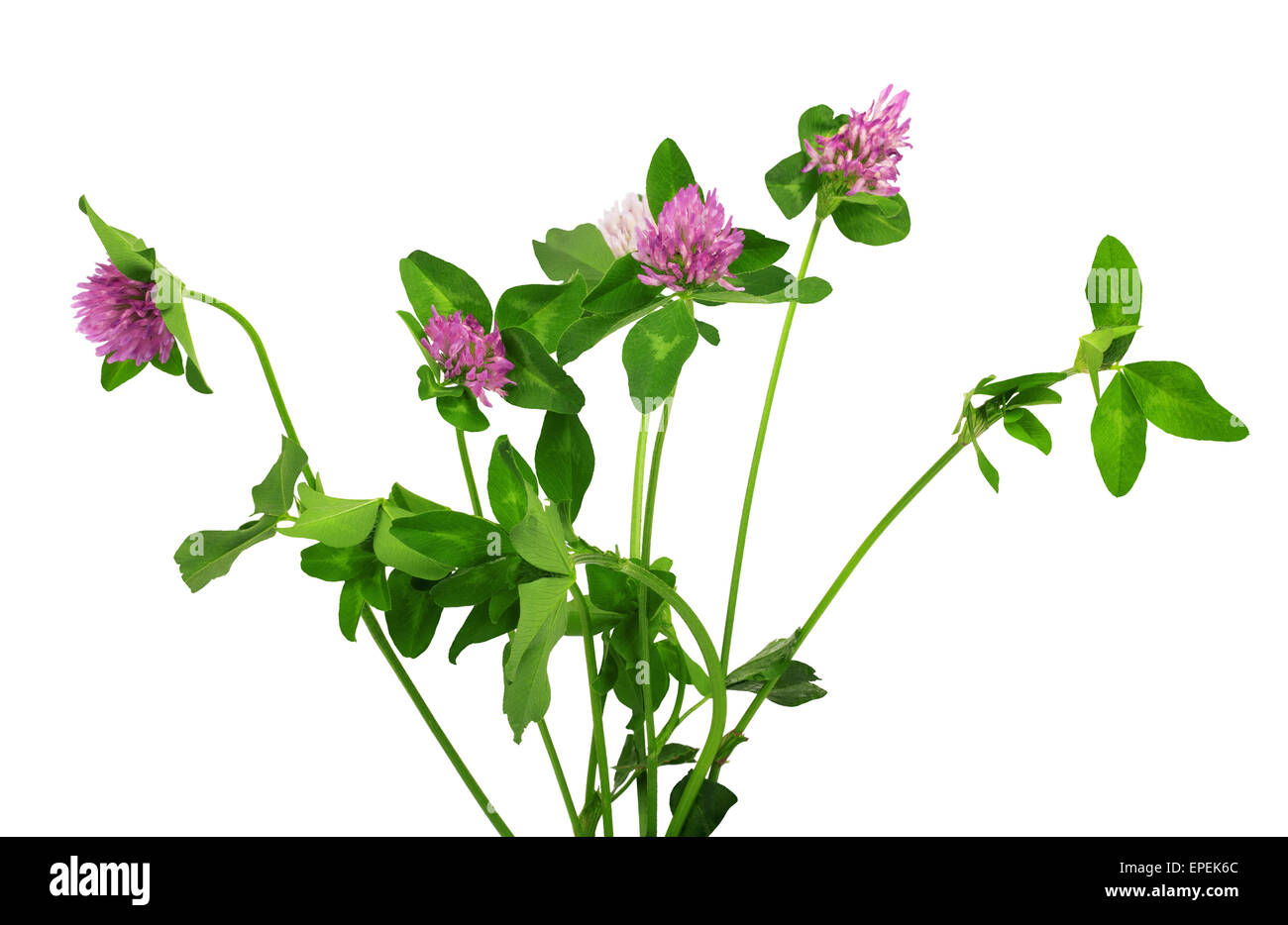 Closeup Of Pink Clover Flower Isolated On White Stock Photo
