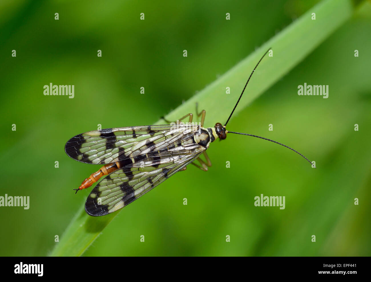 Scorpion Fly - Panorpa sp Female - Stock Image