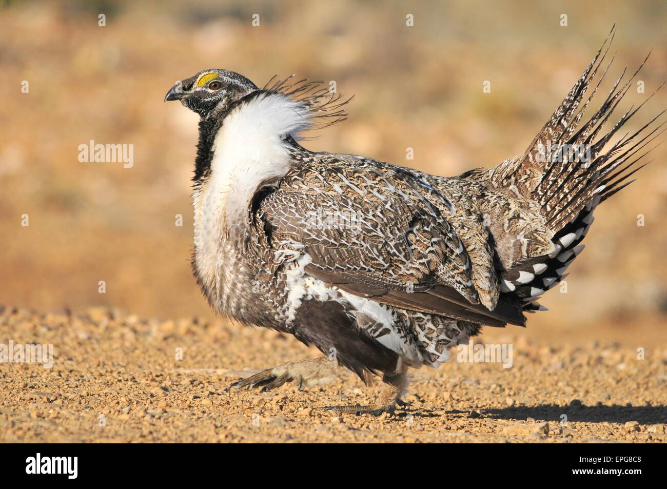 A greater Bi-State sage grouse male struts to attract a mate at a lek near Bridgeport, California. - Stock Image