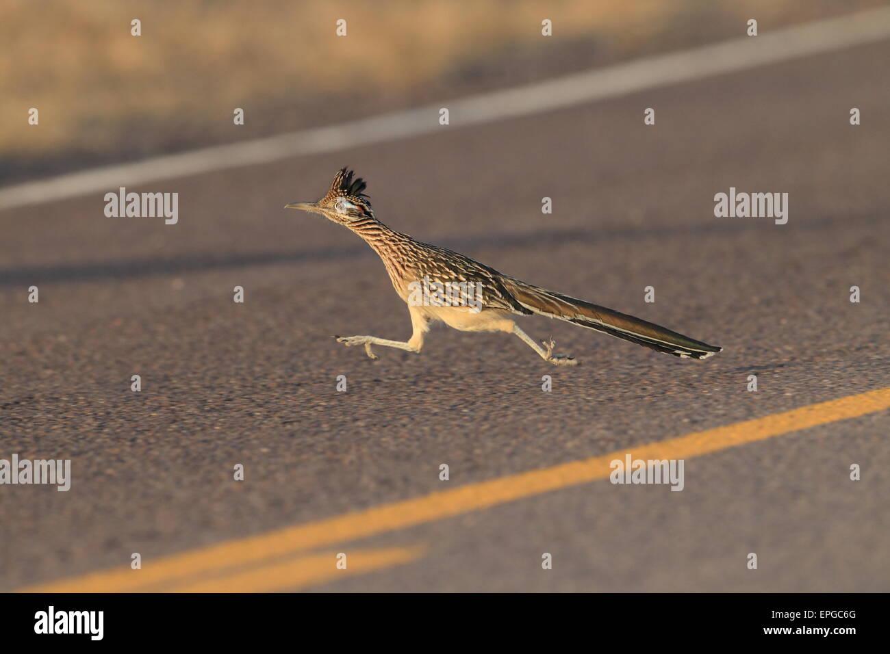 Roadrunner - Stock Image