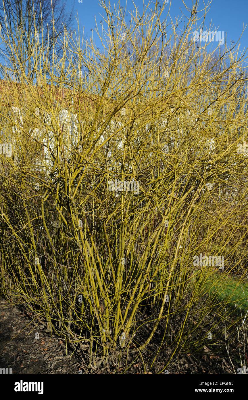 Golden-twig dogwood - Stock Image