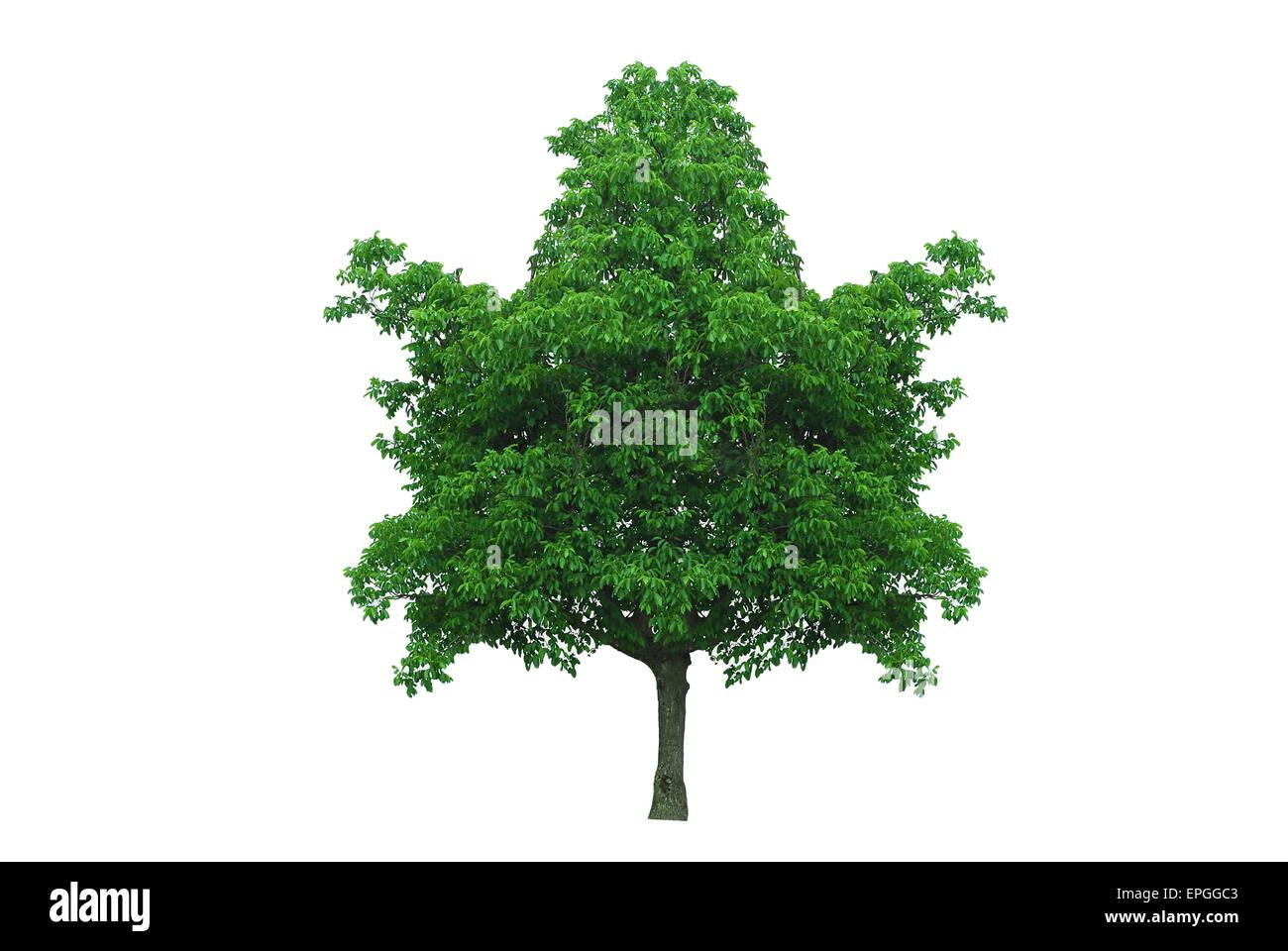 maple leaf shape tree isolated - Stock Image