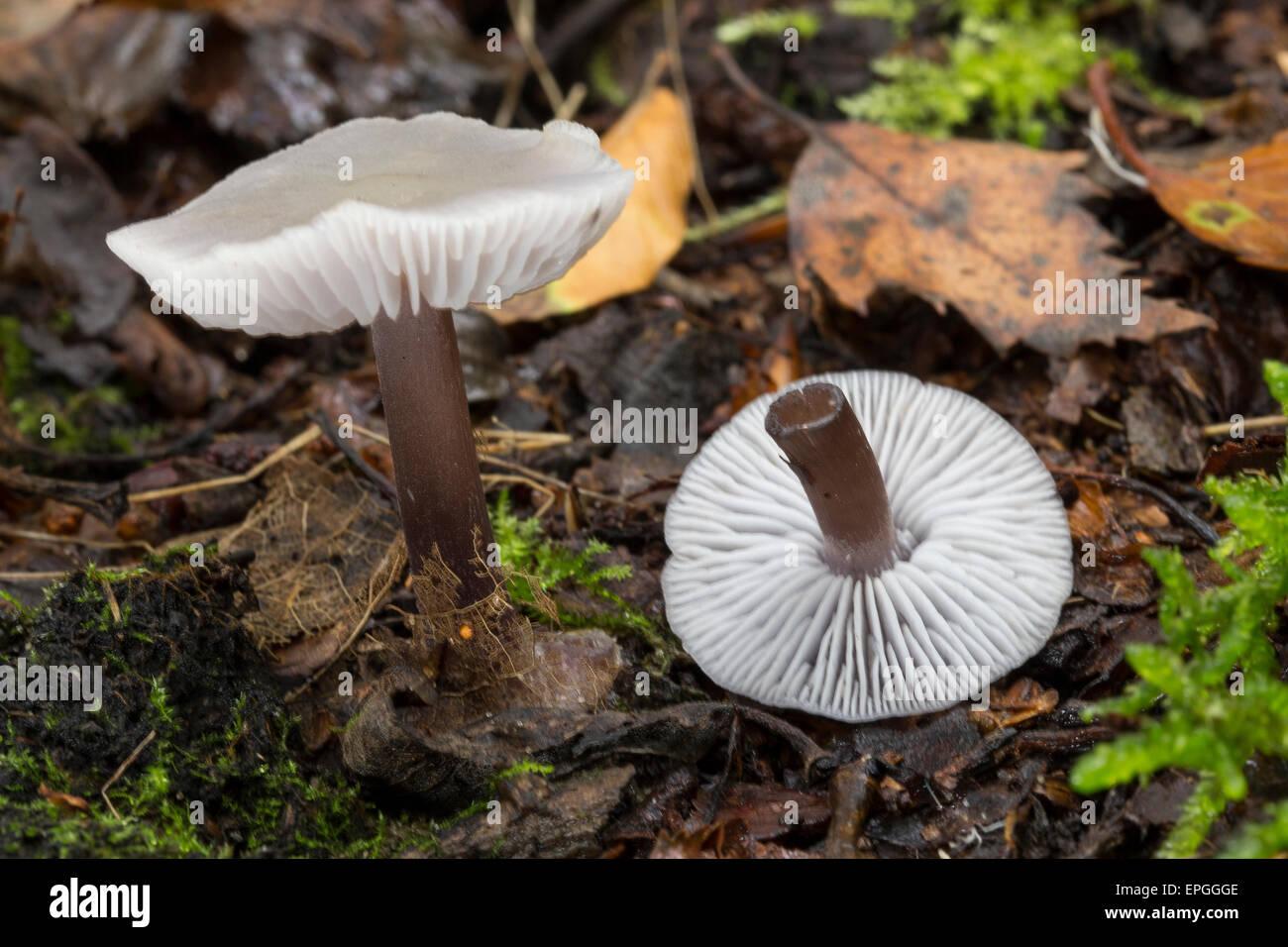 Lilac bonnet, Gemeiner Rettich-Helmling, Lila Rettichhelmling, Helmling, Mycena pura, Prunulus purum - Stock Image